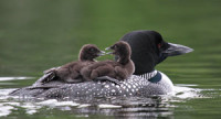 """February/March 2015 Chick magnets: loon parenting is unusually photogenic<!-- AddThis Sharing Buttons below --><!-- AddThis Sharing Buttons below -->                 <div class=""""addthis_toolbox addthis_default_style addthis_"""" addthis:url='http://www.portlandmonthly.com/portmag/2015/02/babies-on-board/' addthis:title='Babies On Board' >                     <a class=""""addthis_button_preferred_1""""></a>                     <a class=""""addthis_button_preferred_2""""></a>                     <a class=""""addthis_button_preferred_3""""></a>                     <a class=""""addthis_button_preferred_4""""></a>                     <a class=""""addthis_button_compact""""></a>                     <a class=""""addthis_counter addthis_bubble_style""""></a>                 </div>"""